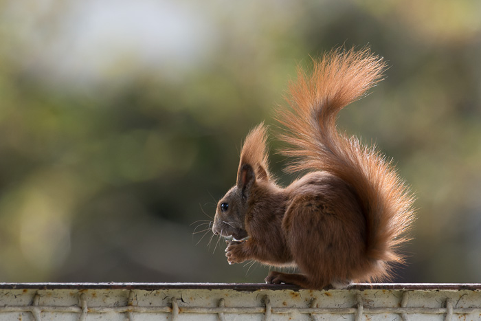 A squirrel in our backyard [10112135__20130503-140342]